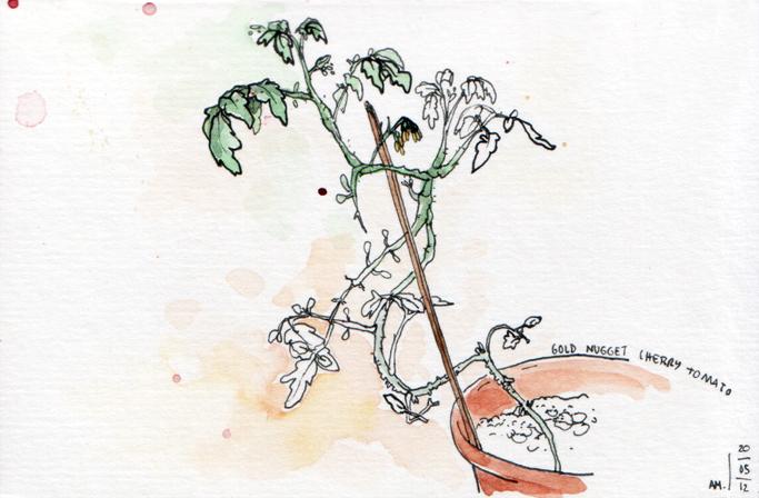 ana romao - cherry tomato plant from balcony
