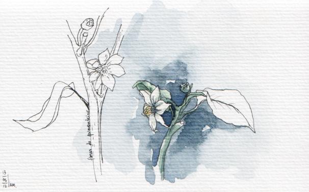 ana romao - pepper plant flower from balcony