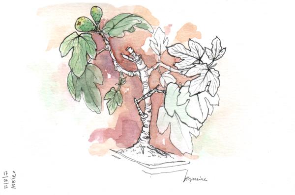ana romao - bonsai fig tree at aveiro