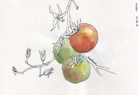ana romao - tomato plant at aveiro