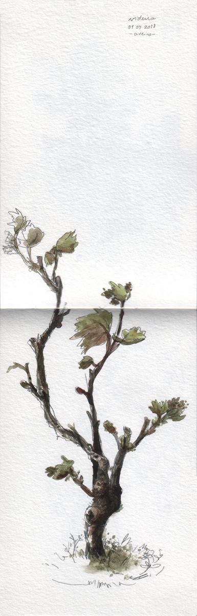 ana romao - bonsai olive tree