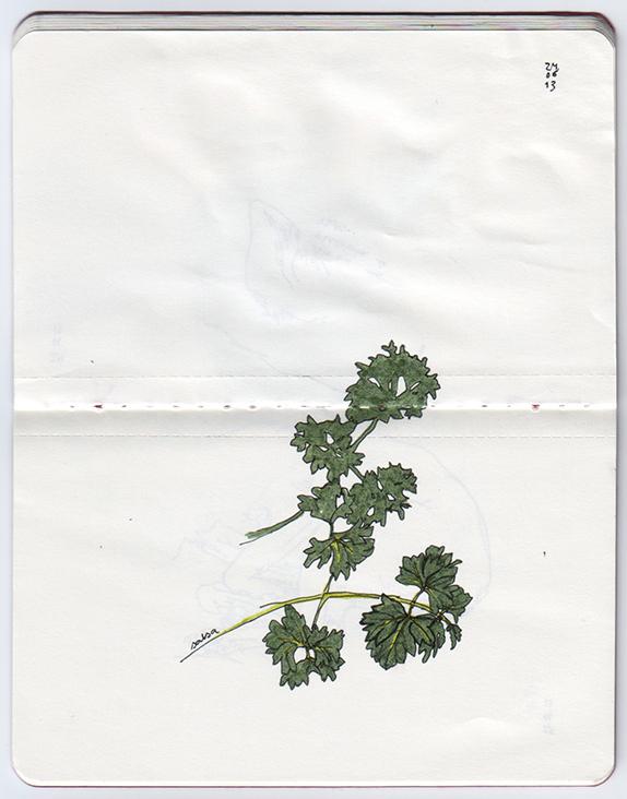 ana romao - plants from balcony - parsley