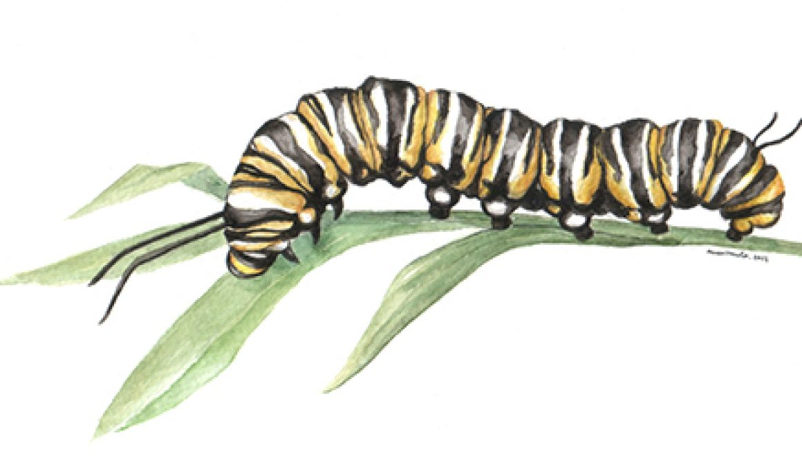 anaormoa_scientificillustration_caterpillar_frontimage