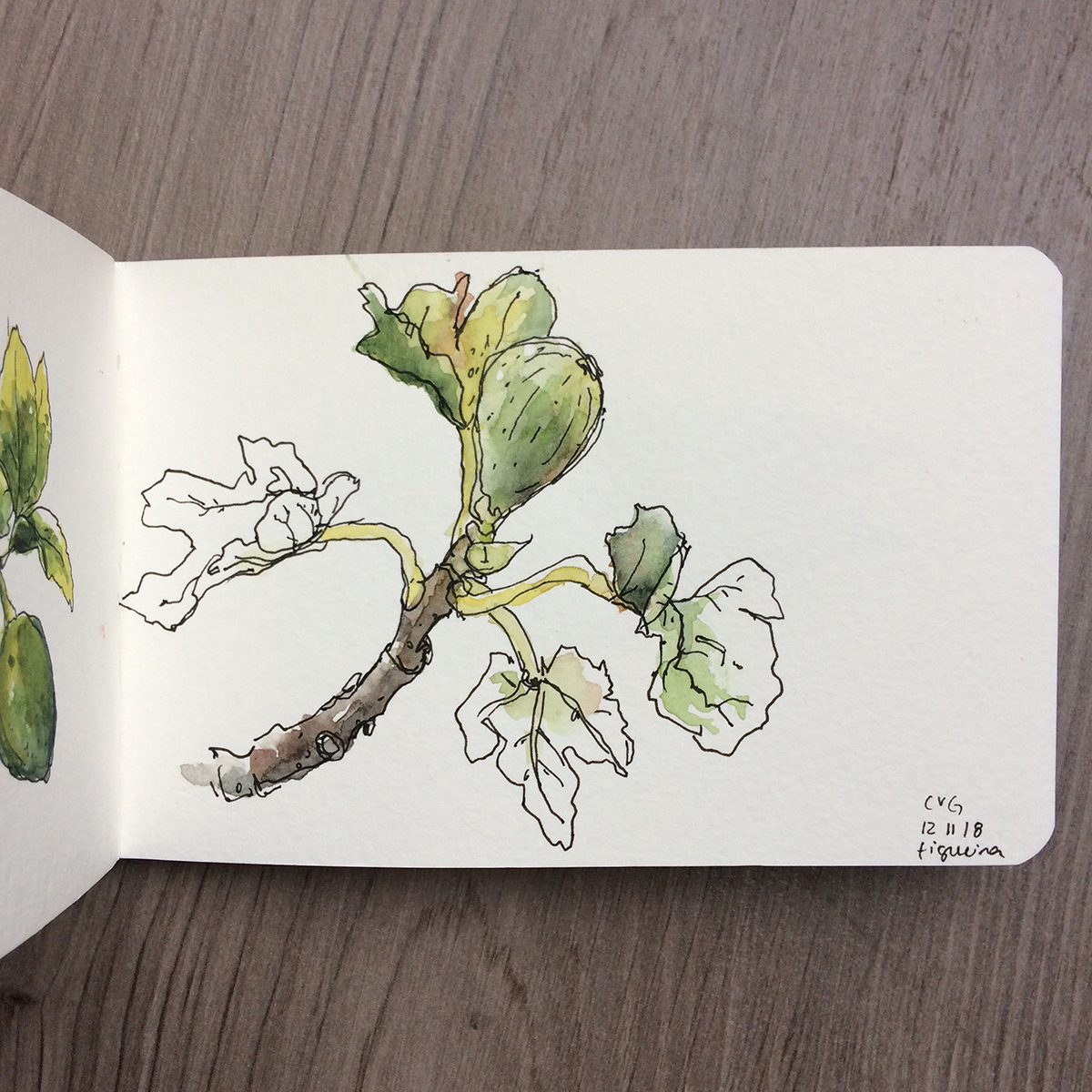 ana romao _ pen and watercolor fig tree branch sketch